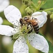 Honeybee On A Blackberry Blossom Art Print