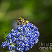 Honeybee On California Lilac Art Print
