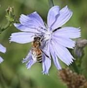 Honeybee On Chicory Art Print