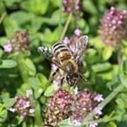 Honeybee On Heal All Art Print
