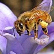 Honeybee On Hyacinth Art Print