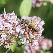 Honeybee On Oregano Art Print