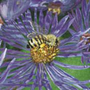 Honeybee On Purple Aster Art Print