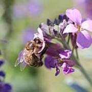 Honeybee On Purple Wall Flower Art Print