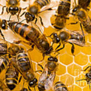 Honeybee Workers And Queen Art Print