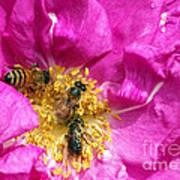 Honeybees On Pink Rose Art Print