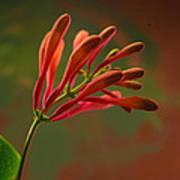 Honeysuckle Blooms Unopened 1 Art Print