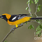 Hooded Oriole Art Print