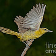 Hooded Oriole Hen At Take Art Print
