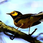 Hooded Warbler - Img 9290-002 Art Print