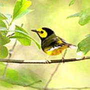 Hooded Warbler - Img_9274-009 Art Print