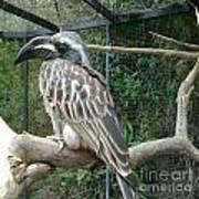 Hornbill Bird Art Print
