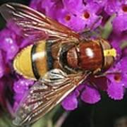 Hornet Mimic Hoverfly Art Print