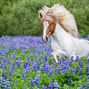 Horse Running By Lupines. Purebred Art Print