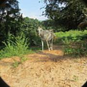Horse Walks Toward Camera Art Print