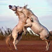 Horses Fighting Art Print