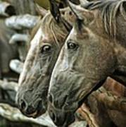 Horses Looking Through The Fence Art Print