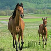 Horses Running In Summer Pasture, Mare Art Print
