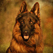 Hoss - German Shepherd Dog Art Print
