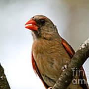 Hot Cardinal Art Print