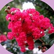 Hot Pink Crepe Myrtle Blossoms Art Print