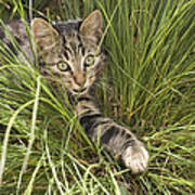 House Cat Hunting In Grass Germany Art Print