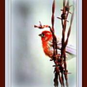 House Finch - Finch 2241-004 Art Print