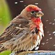House Finch Art Print by Helen Carson