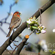 House Finch Art Print