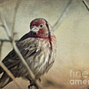 House Finch Two Art Print