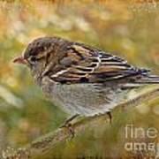 House Sparrow II Art Print