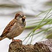 House Sparrow Passer Domesticus On The Perch Art Print