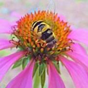 Hover Fly On Purple Coneflower Art Print