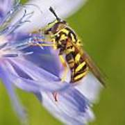 Hover Fly Art Print by Todd Bielby