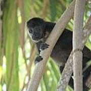 Howler Monkey Looking Down Art Print