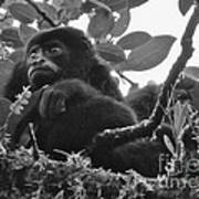 Howler Monkey's Art Print
