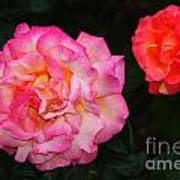 Huge Pink And White Rose...   # Art Print