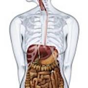 Human Digestive Anatomy Art Print