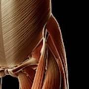 Human Hip Muscles Art Print