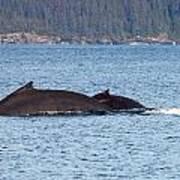 Humback Whale and Calf Art Print