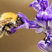 Humming Bee  Art Print