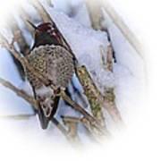 Humming Bird And Snow 5 Art Print