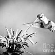 Hummingbird Black And White Art Print