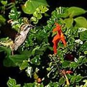 Humming Bird Honeysuckle Art Print