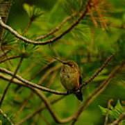 Humming Birds Perched  Art Print