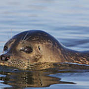 Humming Harbor Seal Art Print