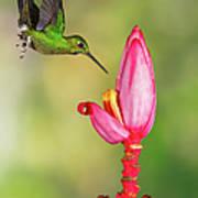 Hummingbird , Green-crowned Brilliant Art Print