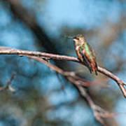 Hummingbird 4 Art Print