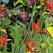 Hummingbird And Crocosmia Lucifer Art Print
