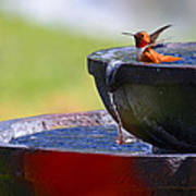 Hummingbird Bath Art Print